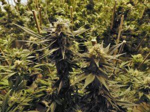 marijuana-1281540_1280