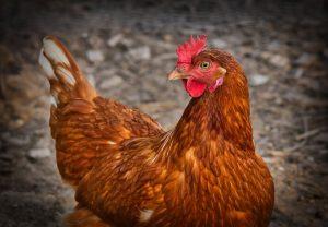 chicken-3727097__480-300x208